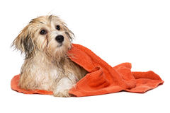 Cute bathed havanese puppy dog wrapped in an orange towel Royalty Free Stock Images