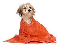 Cute bathed havanese puppy dog wrapped in an orange towel Royalty Free Stock Photo