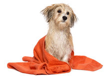 Cute bathed havanese puppy dog wrapped in an orange towel Royalty Free Stock Image