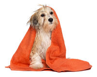Cute bathed havanese puppy dog wrapped in an orange towel Stock Photos