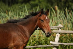 Cute bay foal portrait in summer Royalty Free Stock Photography