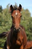 Cute bay foal portrait in summer Stock Images