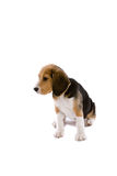 Cute beagle Stock Images