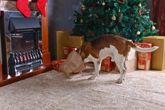 Cute beagle checks Christmas gifts Stock Photography