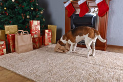 Cute beagle checks Christmas gifts in front of the fireplace in Stock Image