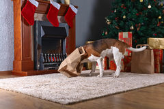 Cute beagle checks Christmas gifts in front of the fireplace in Stock Photos