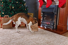 Cute beagle checks Christmas gifts in front of the fireplace in Royalty Free Stock Image