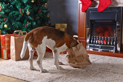 Cute beagle checks Christmas gifts in front of the fireplace in Stock Photo