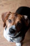 Cute Beagle Dog Royalty Free Stock Photos