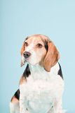 Cute beagle dog Stock Images