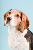 Cute beagle dog Royalty Free Stock Image