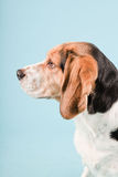 Cute beagle dog Stock Photography
