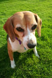 Cute beagle dog. Portrait of cute beagle dog with green grass in background Royalty Free Stock Photo