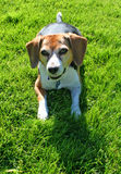 Cute beagle dog. Portrait of cute beagle dog with green grass in background Stock Images
