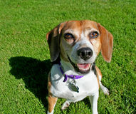 Cute beagle dog. Portrait of cute middle aged female beagle dog with green grass background Stock Image