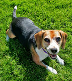 Cute beagle dog. Overhead portrait of cute beagle dog with green grass background Stock Photography