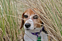 Cute beagle dog Royalty Free Stock Images