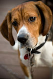 Cute Beagle Dog. A young beagle dog tilting his head with his ears perked up in curiosity Stock Images