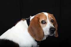 Cute beagle dog. Close up of cute beagle dog isolated on black background Royalty Free Stock Photos