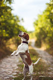 A Cute Beagle Dog Begs Royalty Free Stock Image