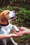 A Cute Beagle Dog Gives A Paw Royalty Free Stock Photos