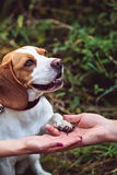 A Cute Beagle Dog Gives A Paw Stock Photo