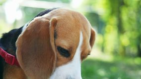 Cute beagle dog gnaw wood stick in close-up while lying on the grass in the park on sunset. Sharpening teeth stock footage