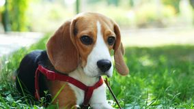 Cute beagle dog gnaw wood stick while lying on the grass in the park on sunset. Sharpening teeth stock video