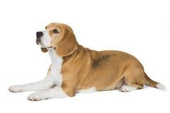 Cute beagle dog isolated. On white background Royalty Free Stock Photo