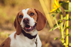 A Cute Beagle Dog In The Nature Royalty Free Stock Photography