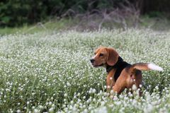 A cute beagle dog  in the wild flowers field. A cute beagle dog  plays in the wild flowers field Stock Images