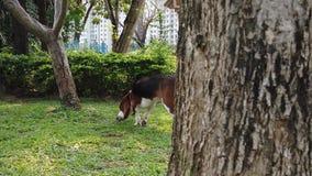 Cute Beagle dog puppy movie