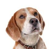Cute Beagle dog. On white background Royalty Free Stock Photos