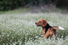 A cute beagle dog  in the wild flowers field. A cute beagle dog  plays in the wild flowers field Stock Image