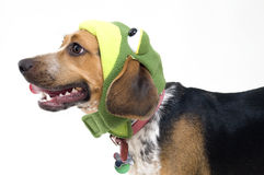 Cute Beagle in Frog Costume Royalty Free Stock Image