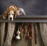 Cute Beagle guards smoked sausages. stock photo