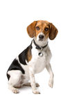 Cute beagle hound Stock Photography