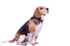 Cute beagle isolated Stock Photos