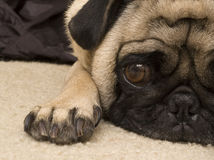 Cute Beagle Laying Down Royalty Free Stock Photo