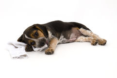 Cute Beagle Laying Down Stock Image