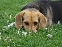 Cute Beagle Picture Royalty Free Stock Photo