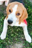 Cute beagle portrait Stock Image