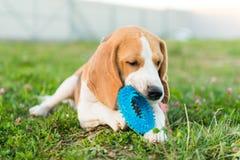 Cute beagle portrait Stock Photo