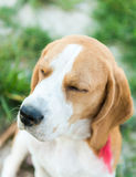 Cute beagle portrait Royalty Free Stock Photo