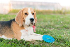 Cute beagle portrait Royalty Free Stock Image