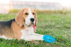 Cute beagle portrait Royalty Free Stock Image