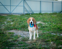 Cute beagle portrait Royalty Free Stock Photography