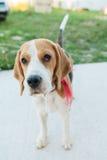 Cute beagle portrait Royalty Free Stock Photos
