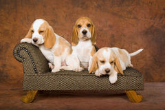 Cute Beagle puppies on sofa. Cute Beagle puppies sitting on miniature couch chaise Stock Photo