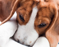Cute beagle puppy Stock Image